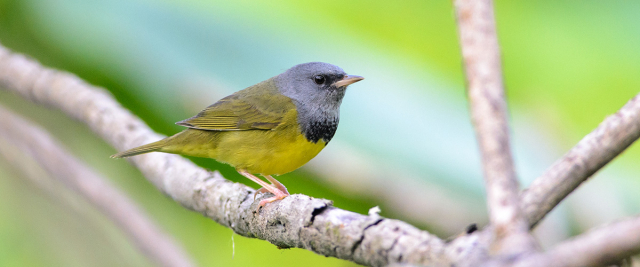The mourning warbler in a tree.