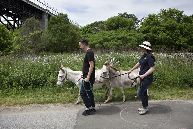 Two donkeys are walked along the Lower Don Trail.