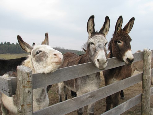 Three donkeys standing by a fence.