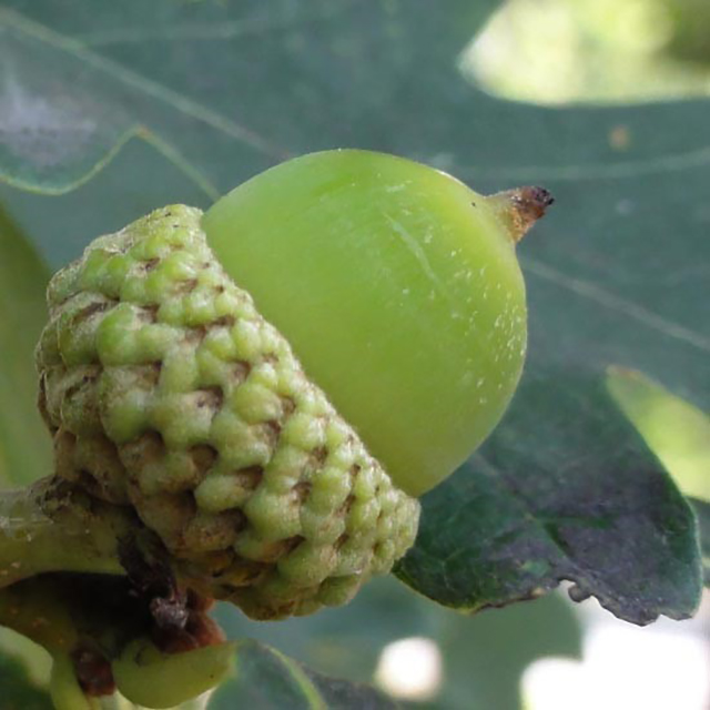 A white oak acorn from canadiantreetours.org.